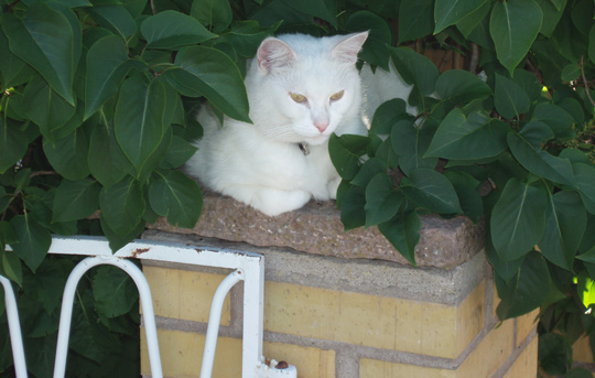 Simon as an outdoor cat spent much of his time moving together with us. And he spent much of hist outside time in our garden. Here he is on top of one of our fence posts, hidden partly by a bush, looking out on the sidewalk.