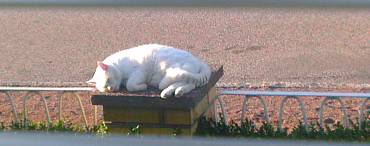 Simon did not hide in the corners. Rather he confidently stayed in the open, which was much in line with his personality. Here my loved cat Simon is taking a morning nap on one of our garden fence posts, with his back to the sidewalk. Not fearing any dog or cat sneaking up on him while sleeping.