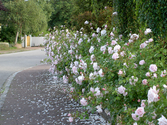 Our rose bush seen from the street